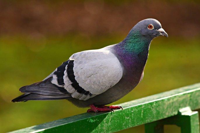 rock-dove-4884627_1920